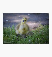 Branta Canadensis - Eye Contact With A Gosling | Beacon, New York Photographic Print