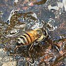 African Bee (Apis mellifera Scutellata) by Maree Clarkson