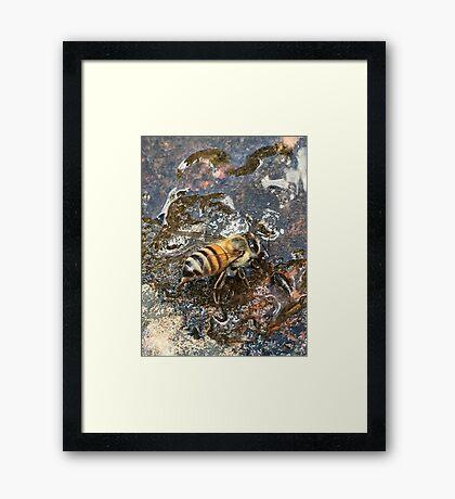 African Bee (Apis mellifera Scutellata) Framed Print