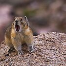 Pika Squeaking by Jay Ryser