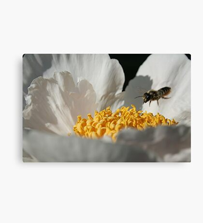 In Coming Bee Canvas Print