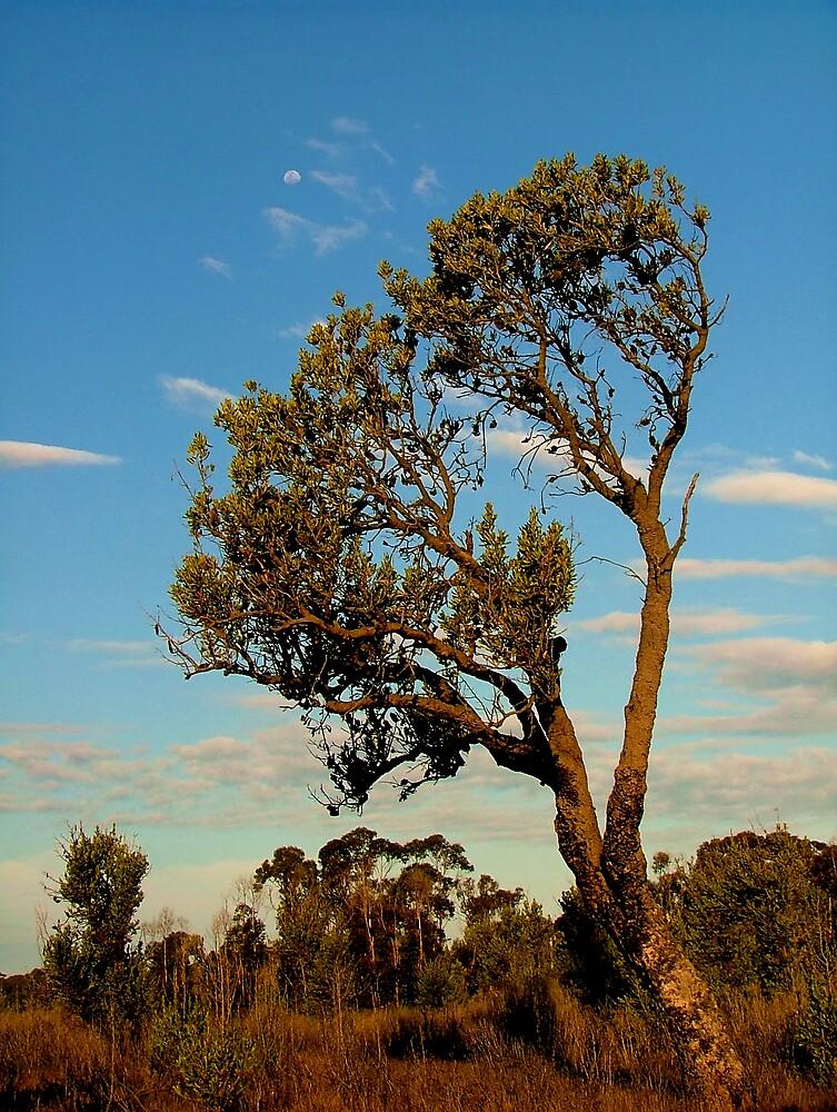 Lone Banksia by Owen Kaluza
