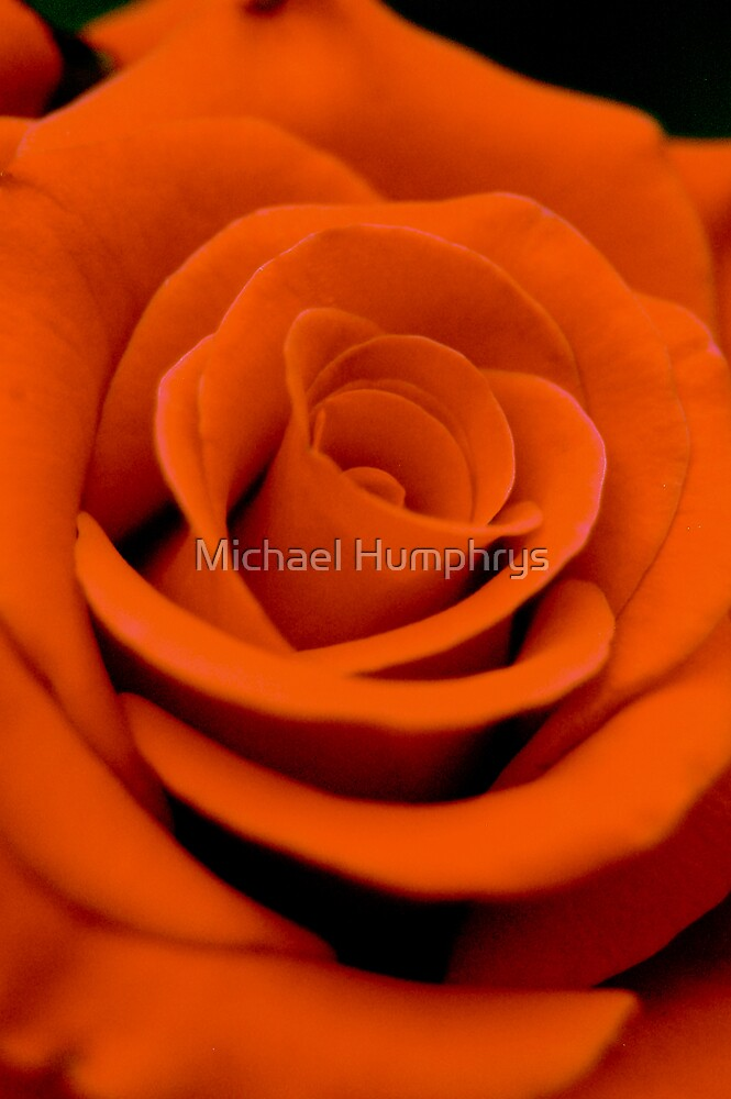 Perfect Orange Rose by Michael Humphrys