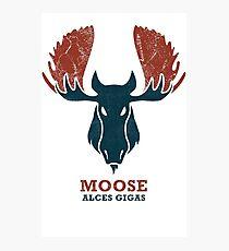 Alaskan Moose - Alces Gigas Photographic Print