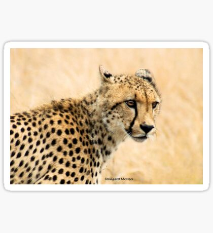"IN PORTRAIT - THE ""CHEETAH"" – Acinonyx jabatus Sticker"