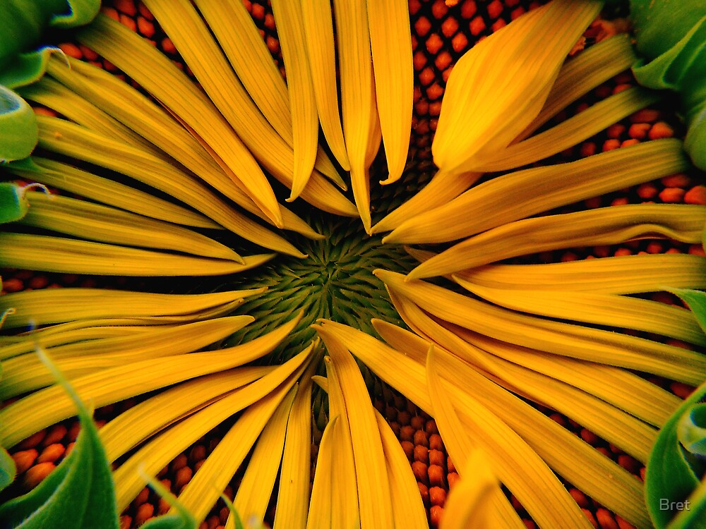 Shelly's Sunflower by Bret
