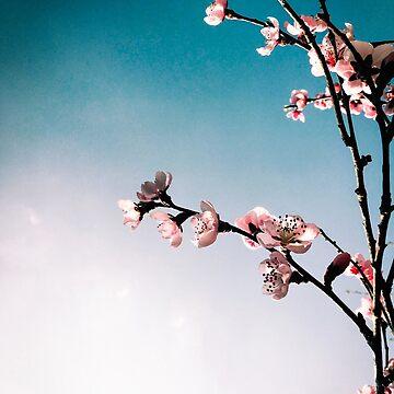 Cherry blossom, Spring, Sky,  by lavalova