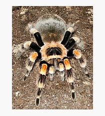 Mexican Red Knee Photographic Print