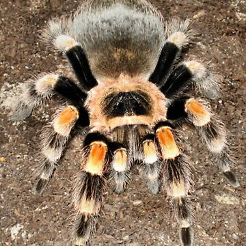 Mexican Red Knee by shellyb
