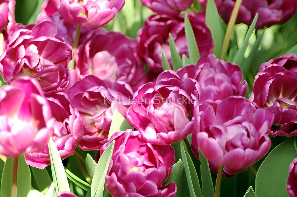 Light Pink Tulips by Kathleen Struckle