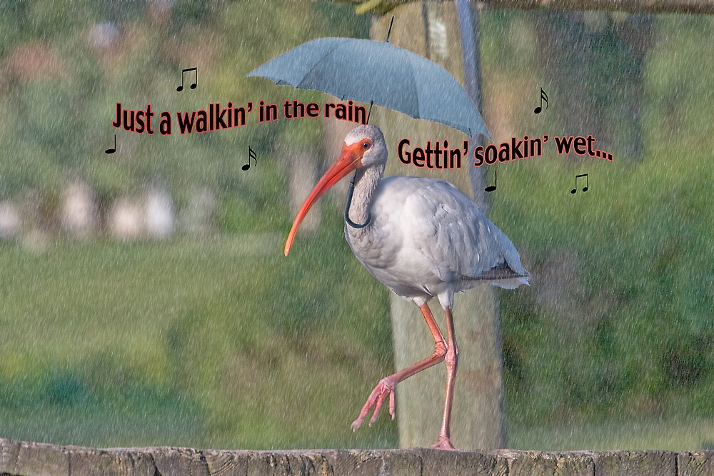 Ibis Walking in the Rain by Delores Knowles