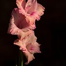 pink gladiolus against dark background by Michael Hadfield