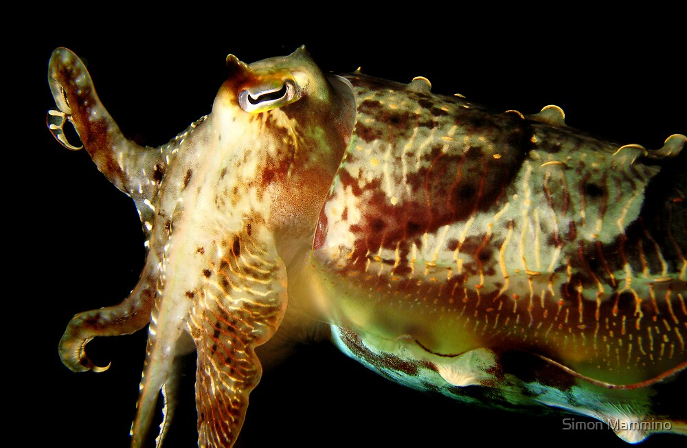 Hello Mr Cuttlefish by Simon Mammino