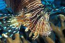 Lionfish by David Wachenfeld