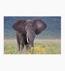 African Bush Elephant (Loxodonta africana) Photographic Print