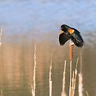 Puffed and Tough- Red-winged Blackbird by David Lamb