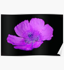 isolated poppy in the garden Poster