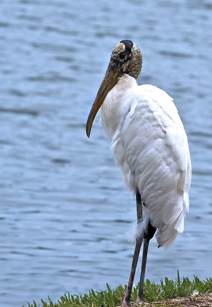 Wood Stork at Pond by Delores Knowles