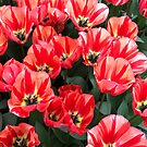 Tulips from Keukenhof (NL) 2017 by bubblehex08