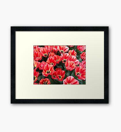 Tulips from Keukenhof (NL) 2017 Framed Print