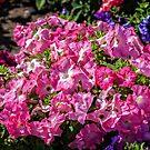 Pretty Pink Petunias by PhotosByHealy