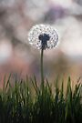 dandelion....i wish by Ingrid Beddoes