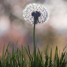 dandelion....i wish by Ingrid Beddoes
