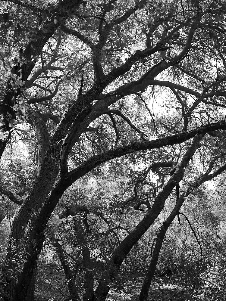 Oak Trees, Santa Monica Mountains, California by Douglas E.  Welch