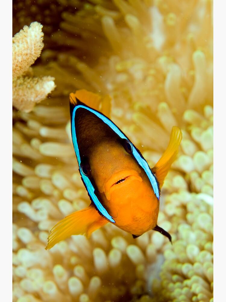 Anemonefish by DavidWachenfeld