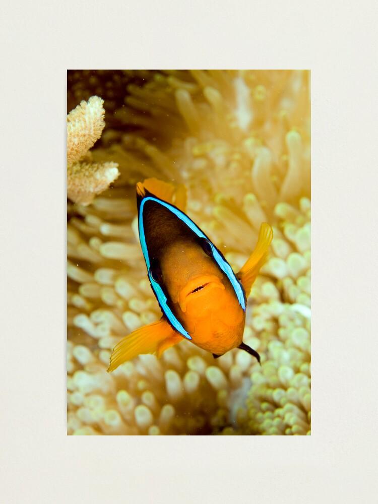 Alternate view of Anemonefish Photographic Print
