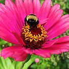 """Bunble Bee on a Zinnia by Christine """"Xine"""" Segalas"""