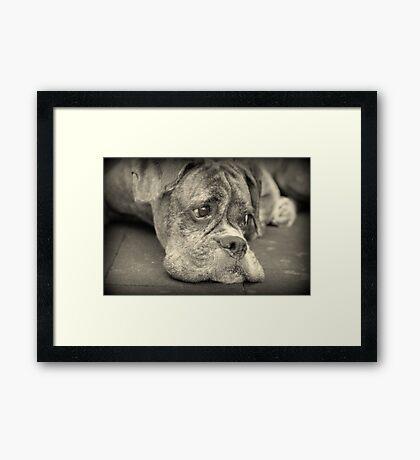 Luthiens Porträt in Monochrom - Boxer Dog Series Gerahmter Kunstdruck