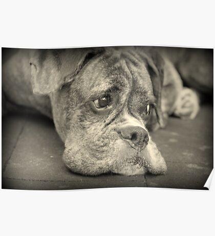 Luthiens Porträt in Monochrom - Boxer Dog Series Poster