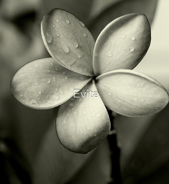 Frangipani ~ Monochrome ~ by Evita