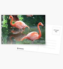 American Flamingoes Postcards
