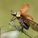 Australian Christmas Beetle by craignoble