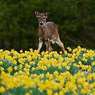Doe In The Daffodils by Douglas  Stucky