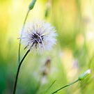Dandelion Wishes by Charles Dobbs Photography