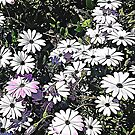 African Daisies by TinaGraphics
