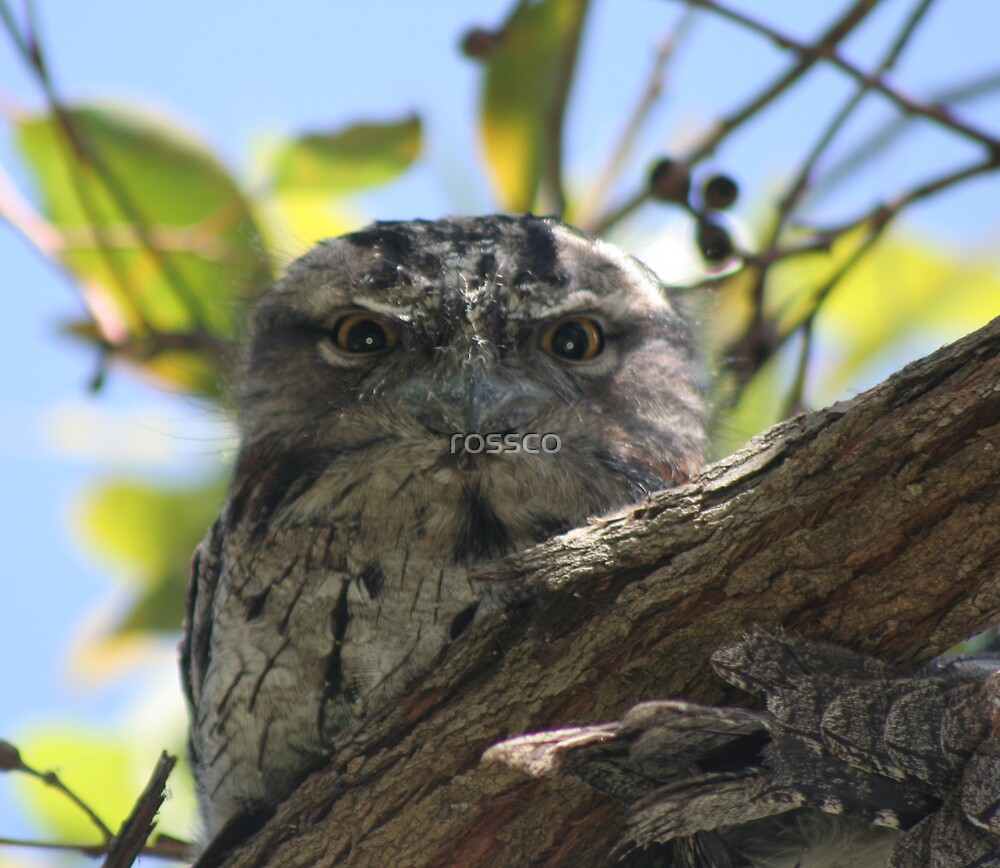 The Tawny Frogmouth by rossco