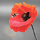 Red Poppy & Bee by TinaGraphics