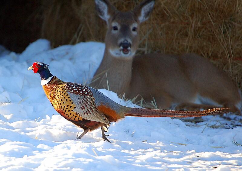 Pheasent and deer by postmsterjim0