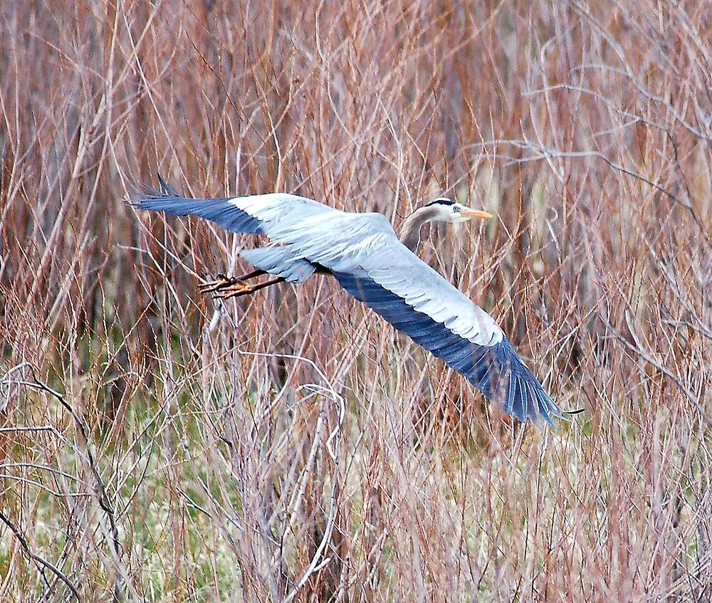Blue Heron by postmsterjim0