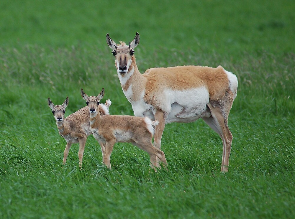 Antelope doe and fawns by postmsterjim0