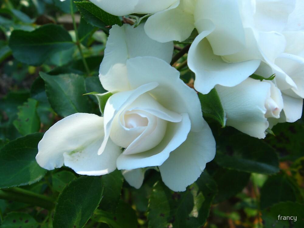 roses by francy