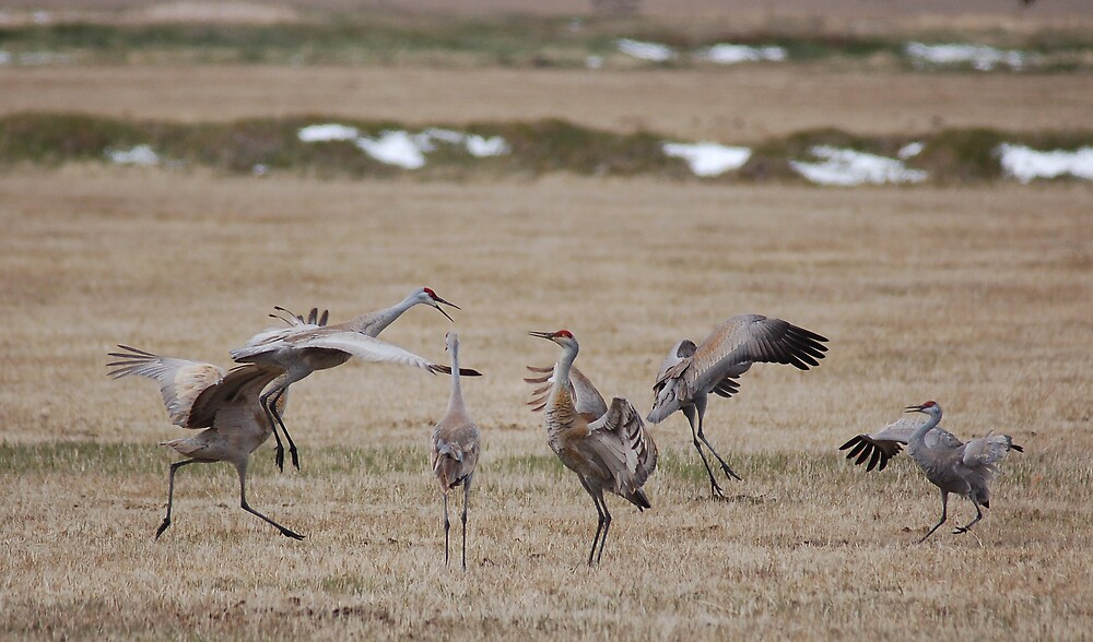 Sandhill Cranes Courting Dance by postmsterjim0