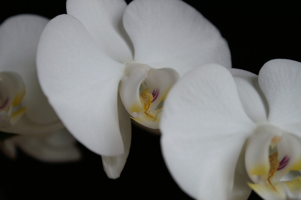 white orchid 2 by carlala00