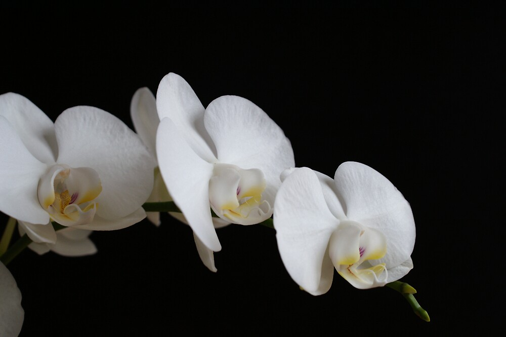 white orchid 3 by carlala00