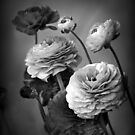 Ranunculus in Monochrome by Jessica Jenney