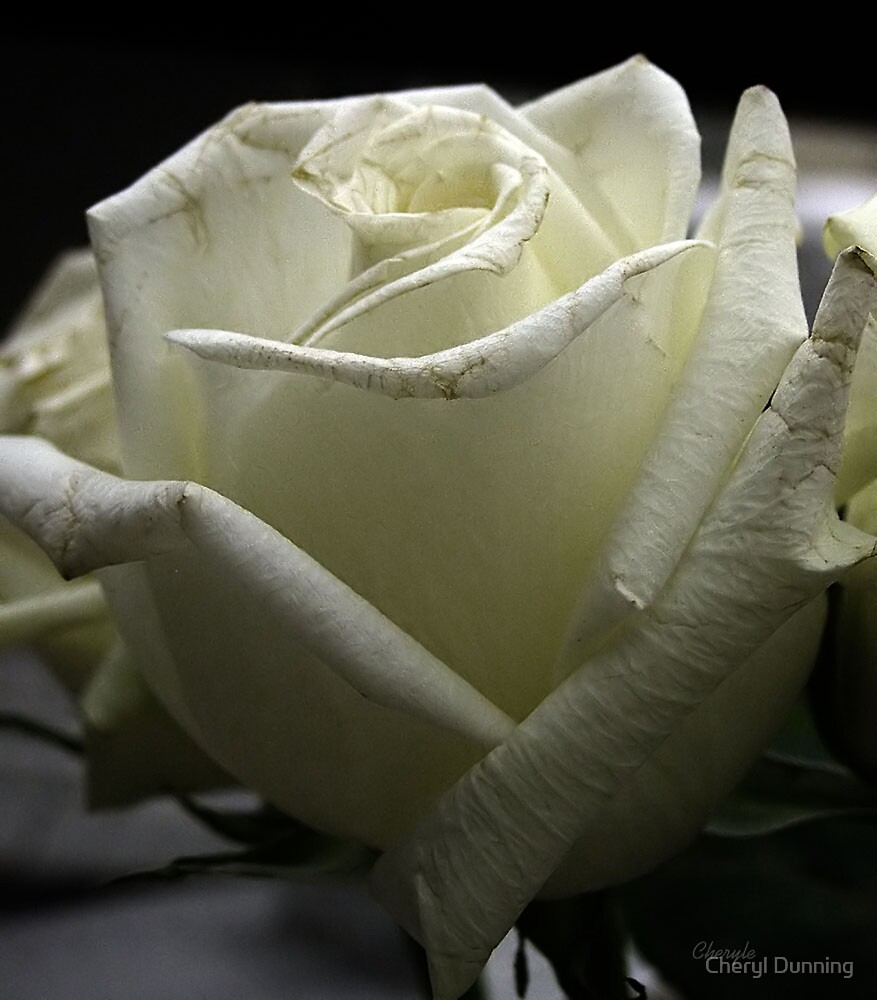 a single white rose by Cheryl Dunning